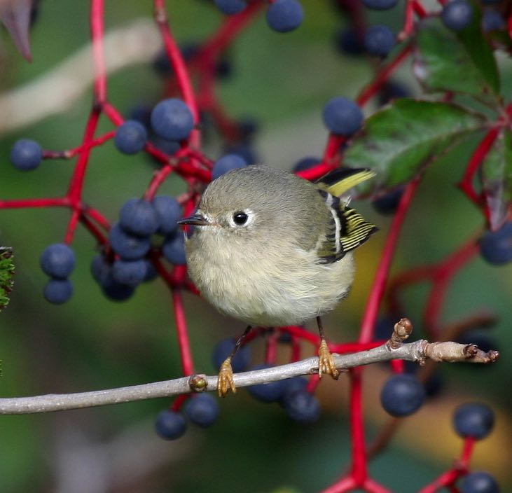 Ruby-crowned Kinglet. Yves Dugré/Macaulay Library. eBird S31703824