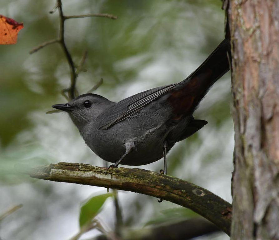 Gray Catbird. Bob Edelen/Macaulay Library. eBird S31714763