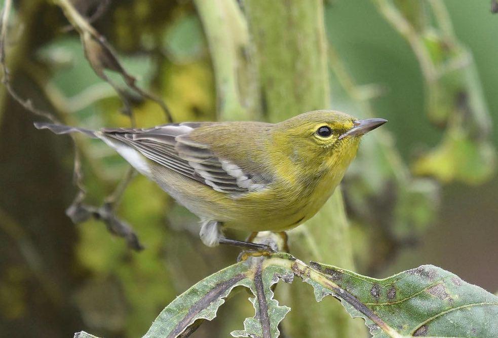 Pine Warbler. Bob Edelen/Macaulay Library. eBird S31694160