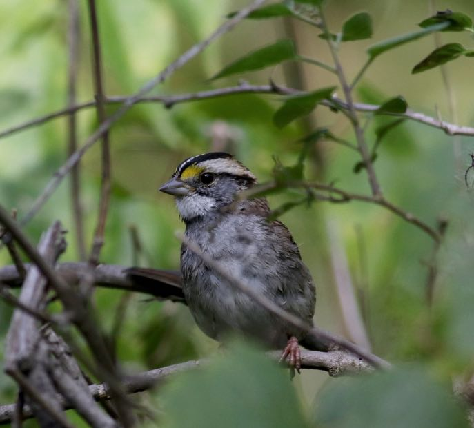 White-throated Sparrow. Jay McGowan/Macaulay Library. eBird S31628294