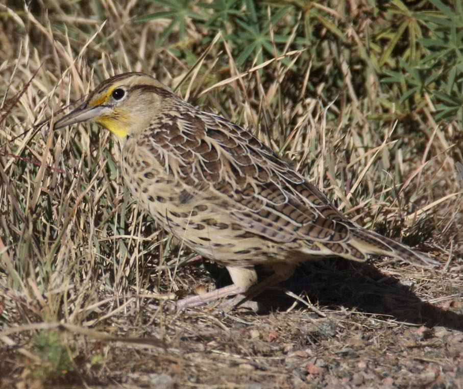 Western Meadowlark. George Ho/Macaulay Library. eBird S31800963