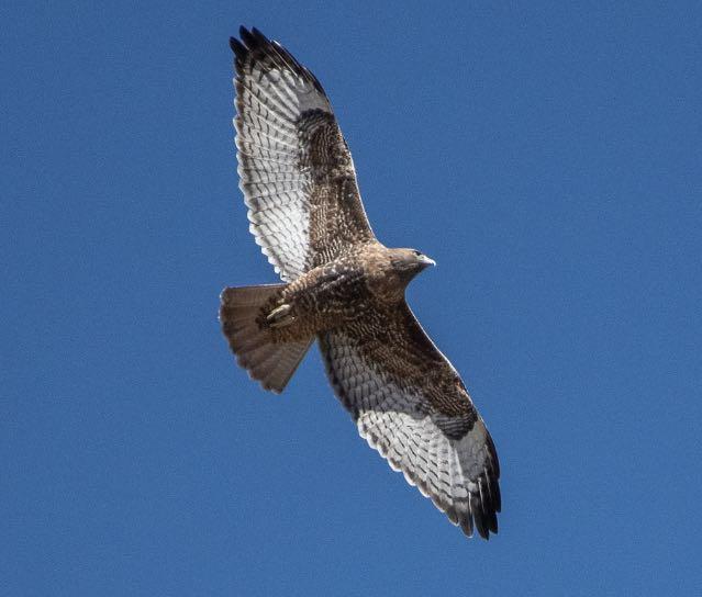 Red-tailed Hawk. James Hoagland/Macaulay Library. eBird S31973538.