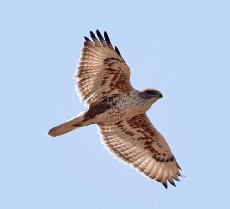 Ferruginous Hawk. Brooke Miller/Macaulay Library. eBird S31919065.