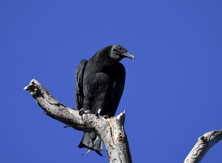 Black Vulture. Brian Henderson/Macaulay Library. eBird S31992765.