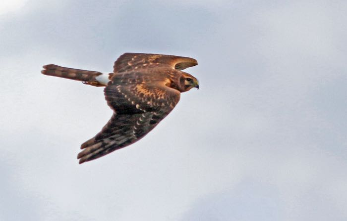 Northern Harrier. Kris Petersen/Macaulay Library. eBird S32016848.