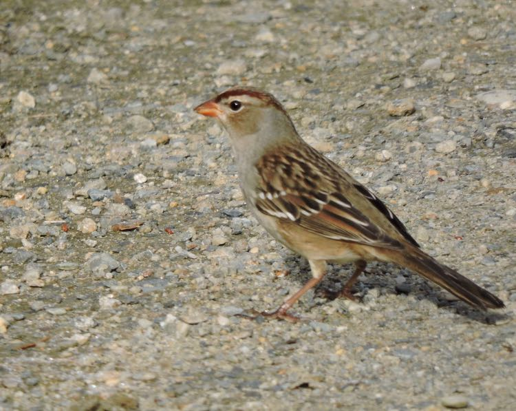 White-crowned Sparrow. Bill Lee/Macaulay Library. eBird S32027821.
