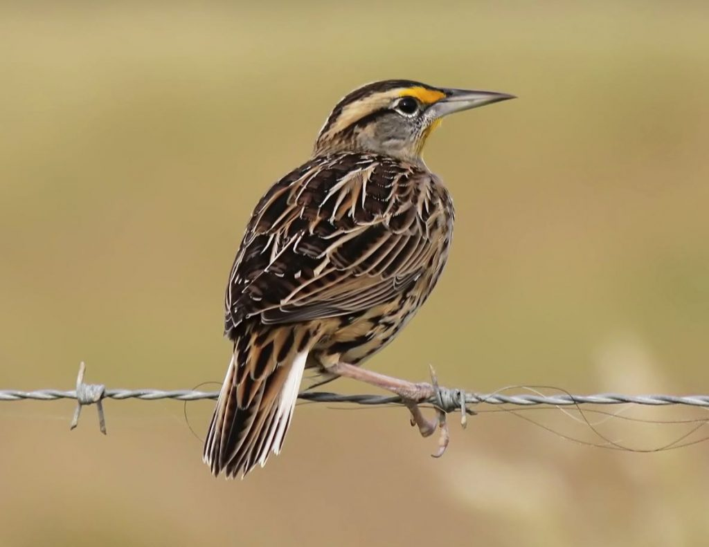 Eastern Meadowlark. Roberta Blair/Macaulay Library. eBird S32088524.