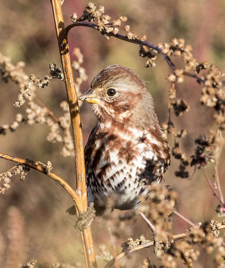 Fox Sparrow. Jeremy Coleman/Macaulay Library. eBird S32123292.