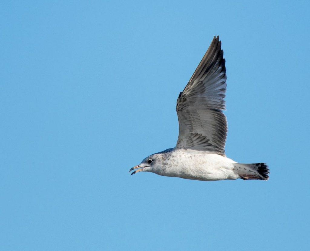 Ring-billed Gull. Nic Allen/Macaulay Library. eBird S32363520.