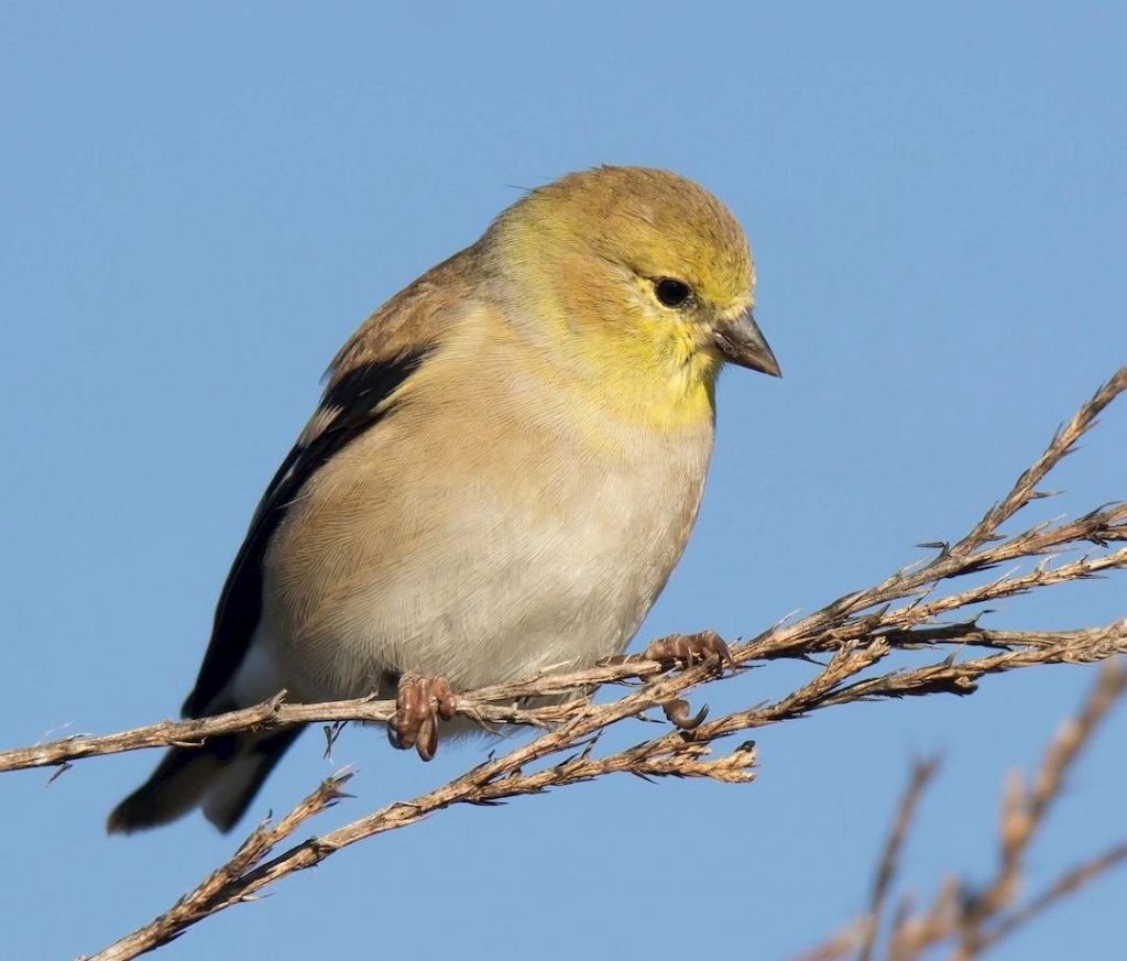 American Goldfinch. Jack and Shirley Foreman/Macaulay Library. eBird S32403455.