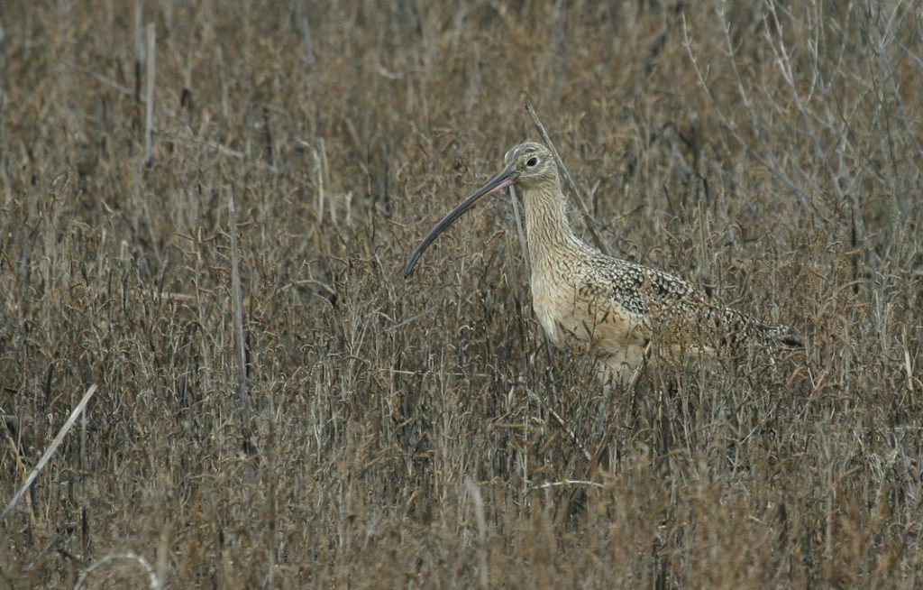 Long-billed Curlew. Chris Wood/Macaulay Library. eBird S31078652.