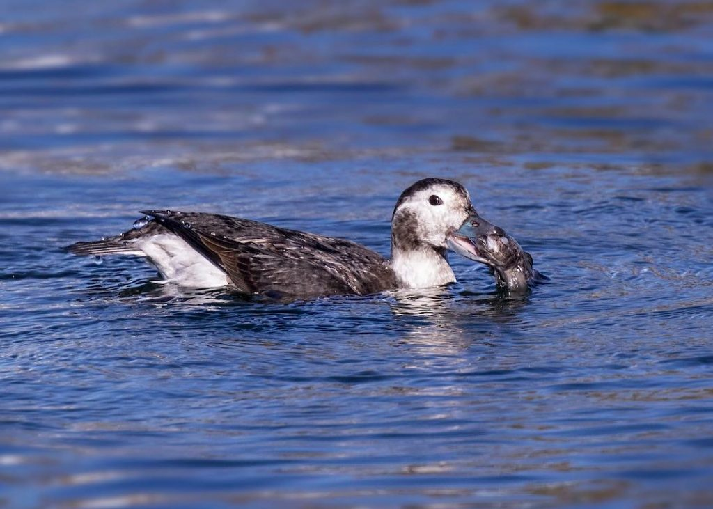 Long-tailed Duck. Peter Hawrylyshyn/Macaulay Library. eBird S32406018.