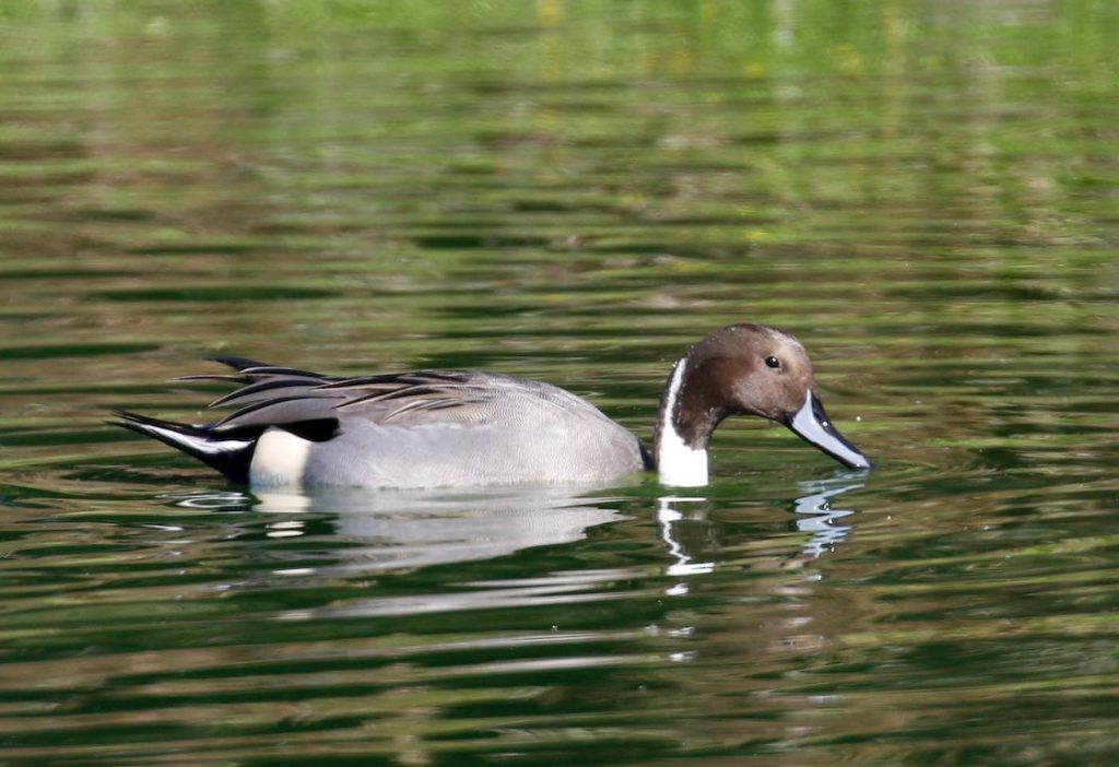 Northern Pintail. Donna Pomeroy/Macaulay Library. eBird S32344391.