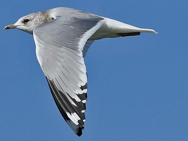 Mew Gull. David Pereksta/Macaulay Library. eBird S32486832.