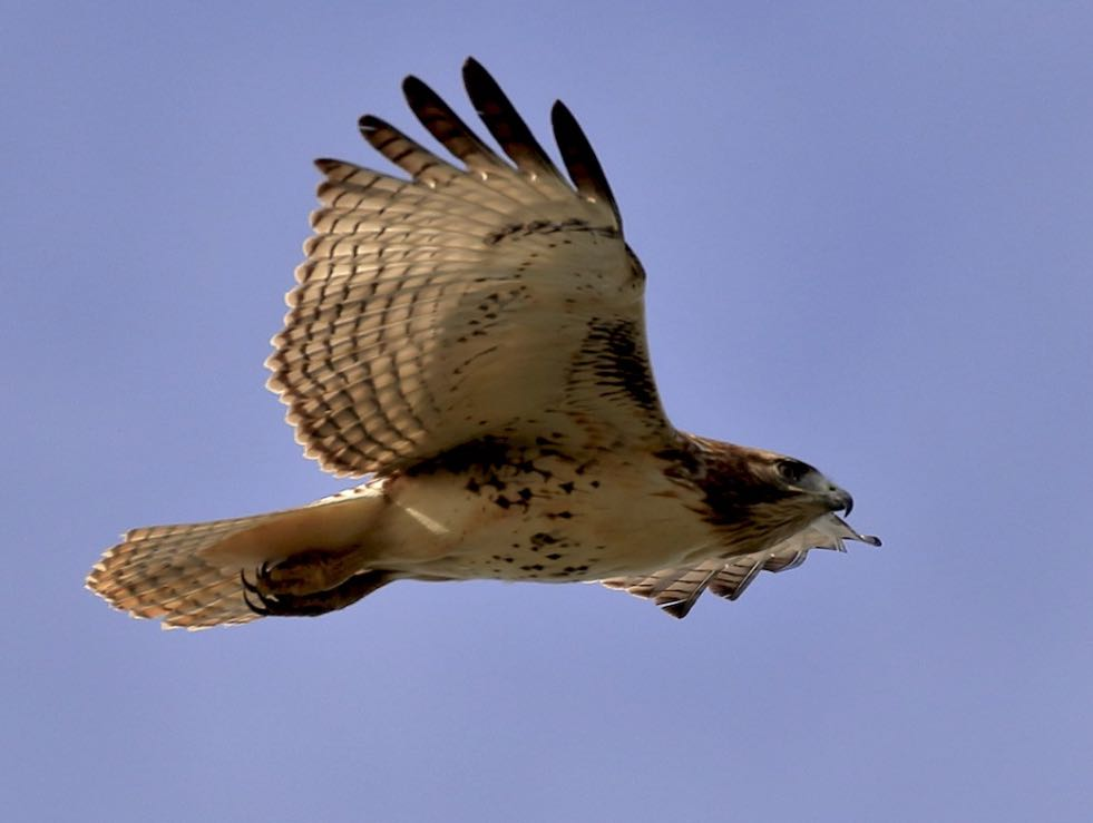 Red-tailed Hawk. Lawrence Haller/Macaulay Library. eBird S32595176.