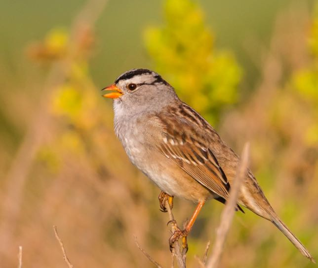 White-crowned Sparrow. Chezy Yusef/Macaulay Library. eBird S35705533.