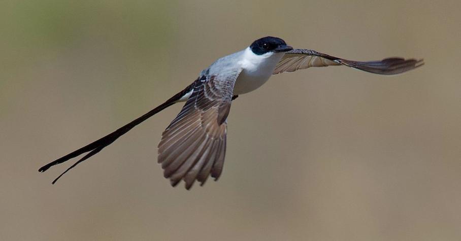 Fork-tailed Flycatcher. Dave Allen/Macaulay Library. eBird S65932350