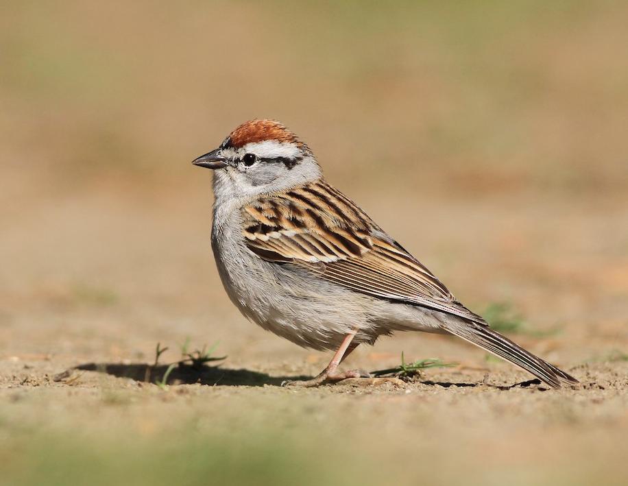 Chipping Sparrow. Evan Lipton/Macaulay Library. eBird S23230113.