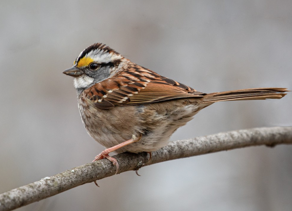 White-throated Sparrow. Suzanne Labbé/Macaulay Library. eBird S68379491.