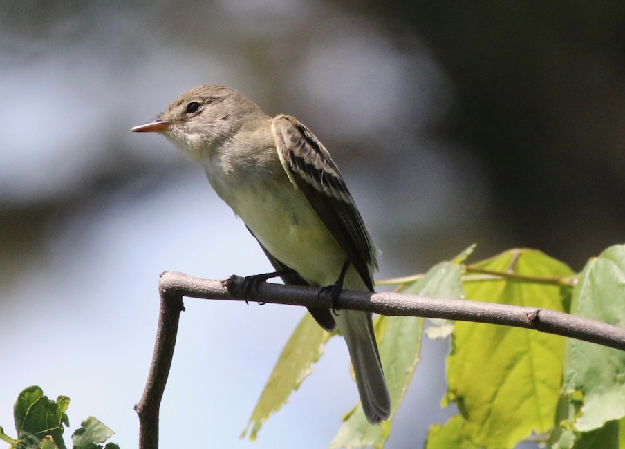 Willow Flycatcher. Ned Brinkley/Macaulay Library. eBird S69527557
