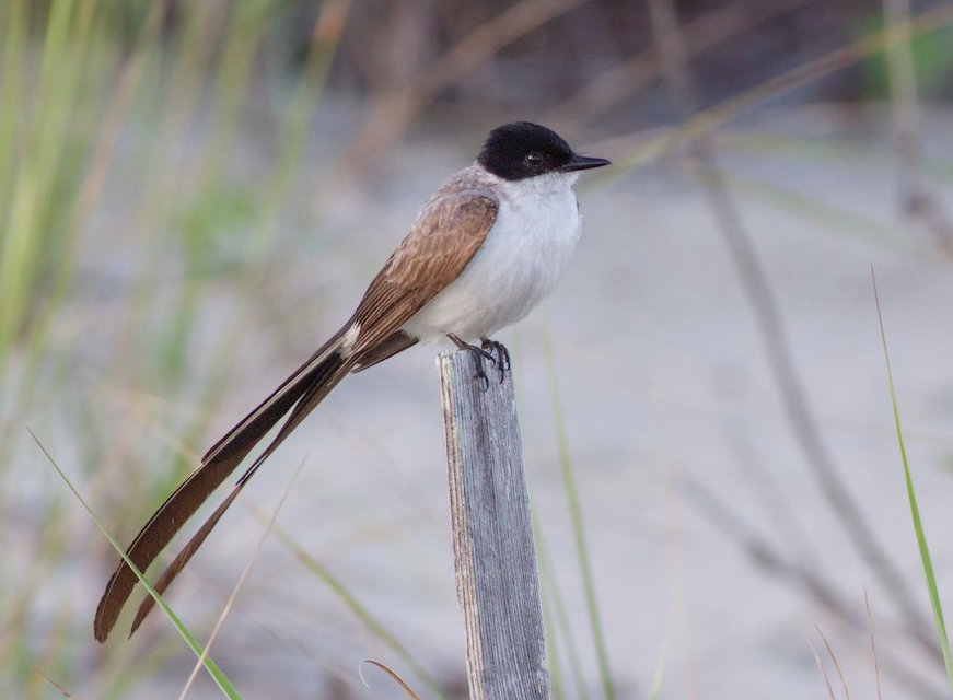 Fork-tailed Flycatcher. Sam Galick/Macaulay Library. eBird S37691975