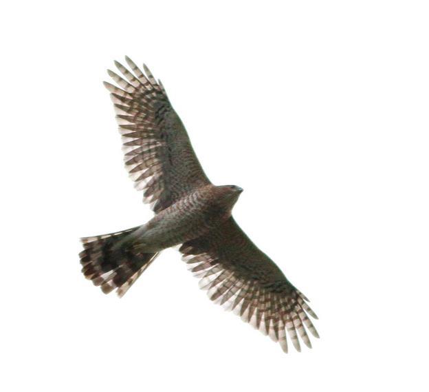 Cooper's Hawk, Ian Davies