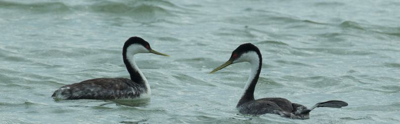 Western Grebe, Chris Wood