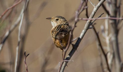 Sedge Wren, Chris Wood