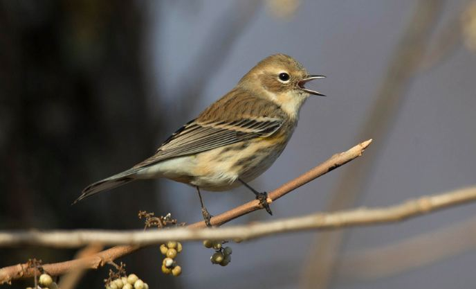 Yellow-rumped Warbler (Myrtle), Chris Wood