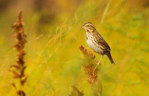 Savannah Sparrow, Ryan Schain
