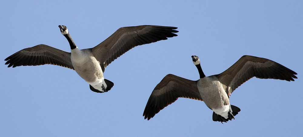 Canada Goose, Ryan Schain