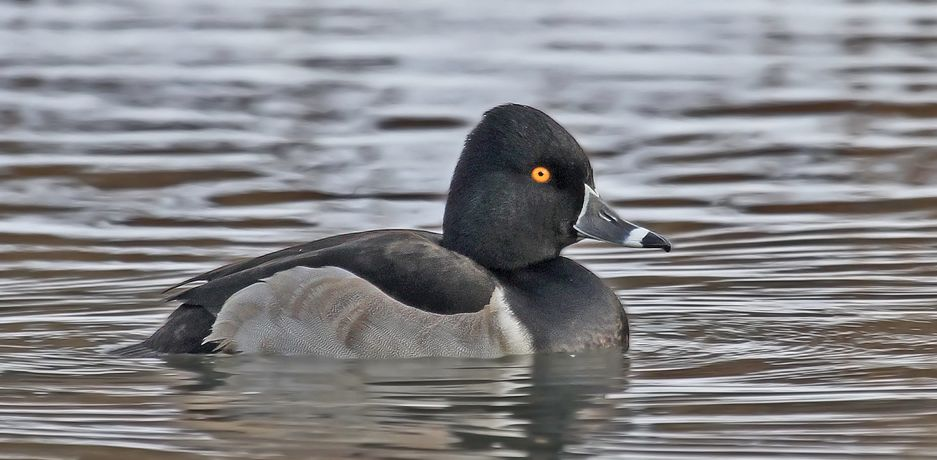 Ring-necked Duck, Ryan Schain