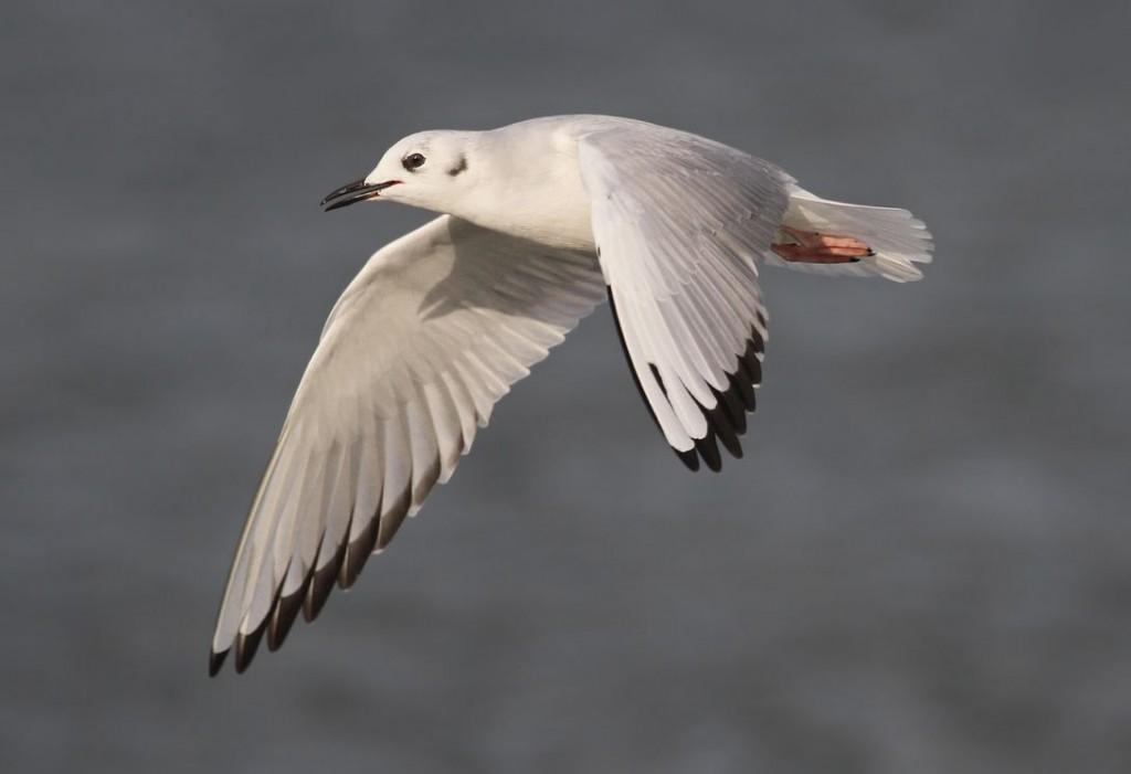 Bonaparte's Gull, Ryan Schain