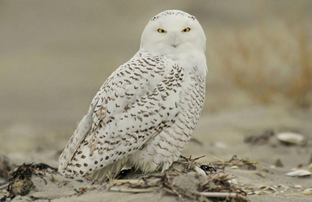 Snowy Owl, Ryan Schain