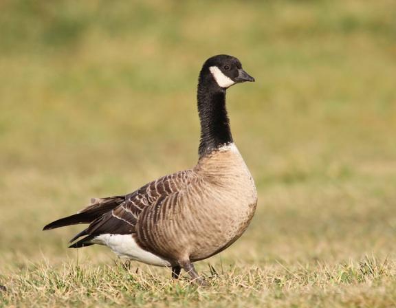 Cackling Goose, Ryan Schain