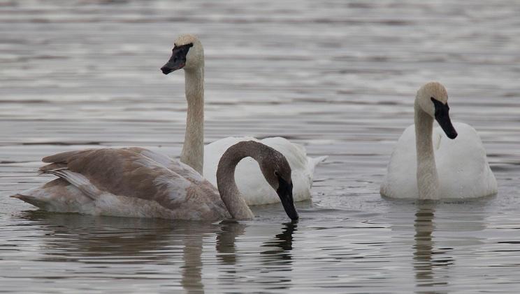 Trumpeter Swans, Chris Wood