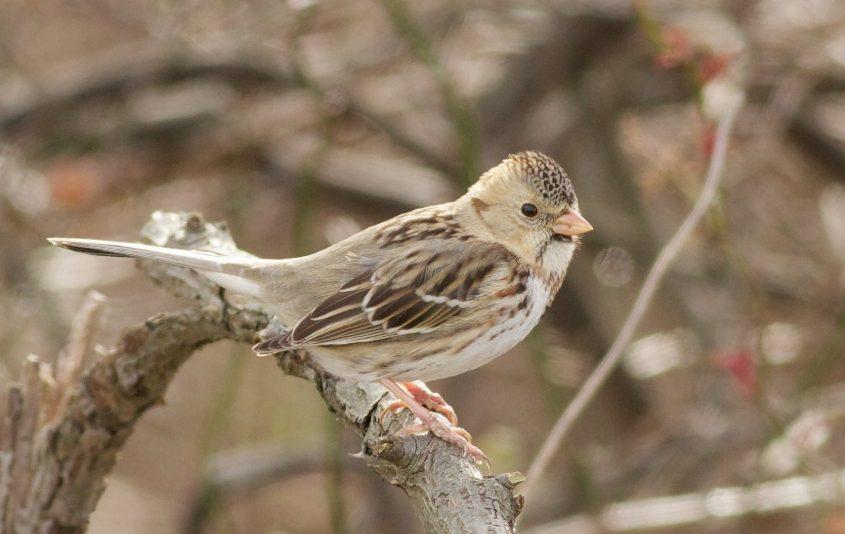 Harris's Sparrow, Tom Johnson