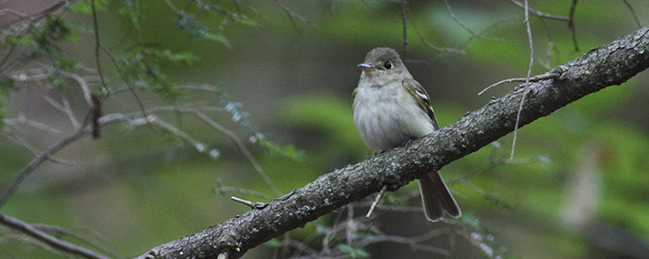 Acadian Flycatcher © Benjamin Van Doren