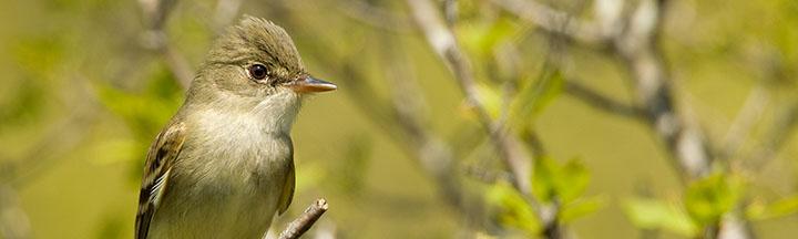Alder Flycatcher © Ian Davies