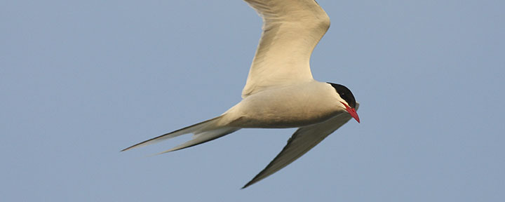 Arctic Tern © Benjamin Van Doren