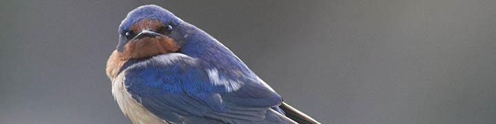 Barn Swallow © Benjamin Van Doren