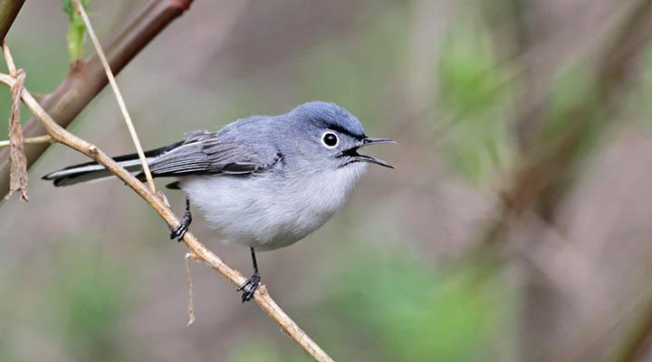 Blue-gray Gnatcatcher © Ian Davies