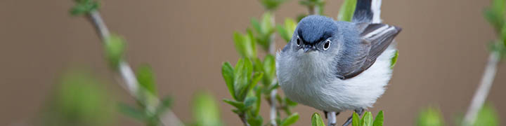 Blue-gray Gnatcatcher © Ian Davies