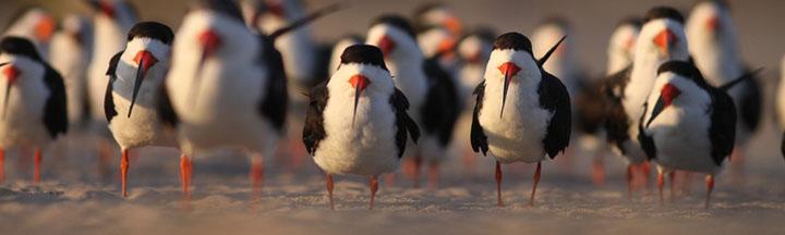 Black Skimmers © Ian Davies