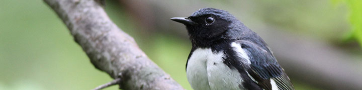 Black-throated Blue Warbler © Ian Davies