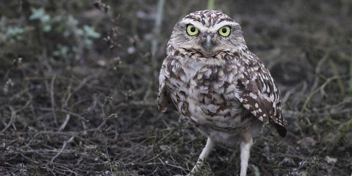 Burrowing Owl © Ian Davies