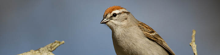 Chipping Sparrow © Ian Davies