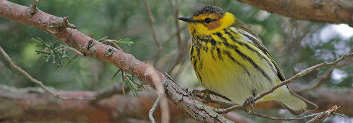 Cape May Warbler © Ian Davies