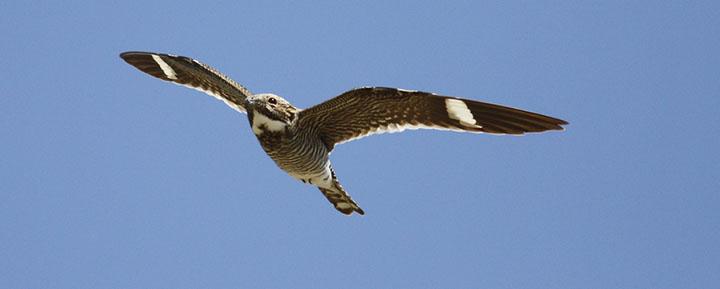 Common Nighthawk © Benjamin Van Doren