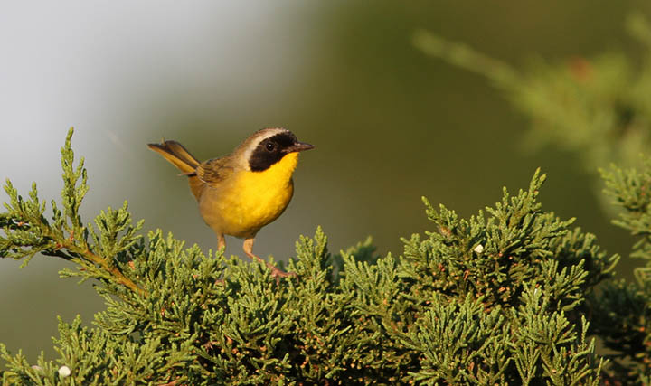 Common Yellowthroat © Ian Davies